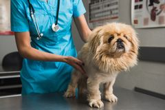 Εξέταση σκυλιών στο ασθενοφόρο κτηνιάτρων Στοκ Εικόνες