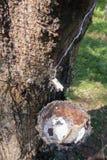 Εξαγωγή λαστιχένιων δέντρων Στοκ εικόνα με δικαίωμα ελεύθερης χρήσης