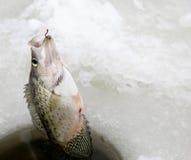 Εξαγωγή ενός Crappie αλιεύοντας πάγου στοκ φωτογραφίες με δικαίωμα ελεύθερης χρήσης