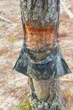Εξαγωγή σφρίγους elliottii πεύκων στη λίμνη DOS Patos Lagoa στοκ φωτογραφία με δικαίωμα ελεύθερης χρήσης