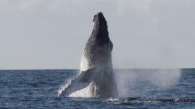 Εξαιρετικά σπάνιος πυροβολισμός μιας πλήρους παραβίασης φαλαινών Humpback απόθεμα βίντεο