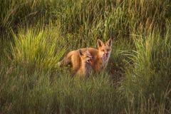 Εξαρτήσεις αλεπούδων που παίζουν στην αργά το απόγευμα ηλιοφάνεια στο όμορφο πράσινο λιβάδι στοκ εικόνα με δικαίωμα ελεύθερης χρήσης