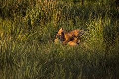 Εξαρτήσεις αλεπούδων που παίζουν στην αργά το απόγευμα ηλιοφάνεια στο όμορφο πράσινο λιβάδι στοκ φωτογραφίες με δικαίωμα ελεύθερης χρήσης