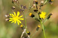 Εξασθενίζοντας ξηρό λουλούδι Leontodon πικραλίδων με τα τελευταία κίτρινα άνθη το φθινόπωρο - Viersen, Γερμανία στοκ εικόνες