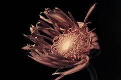 εξασθενίστε το λουλούδι στοκ εικόνες