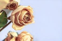 Εξασθενισμένα και μαραμένα άσπρα τριαντάφυλλα στο ελαφρύ υπόβαθρο r στοκ φωτογραφία