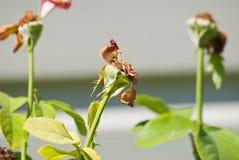 εξασθενισμένα λουλούδ&i Στοκ φωτογραφία με δικαίωμα ελεύθερης χρήσης