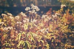 Εξασθενισμένα φθινόπωρο λουλούδια αναδρομικά φωτισμένα από τον ήλιο Στοκ φωτογραφία με δικαίωμα ελεύθερης χρήσης