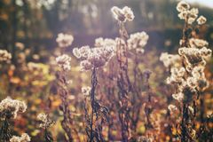 Εξασθενισμένα φθινόπωρο λουλούδια αναδρομικά φωτισμένα από τον ήλιο Στοκ Φωτογραφίες