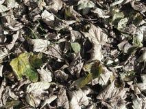 Εξασθενισμένα φύλλα φθινοπώρου στοκ εικόνες με δικαίωμα ελεύθερης χρήσης