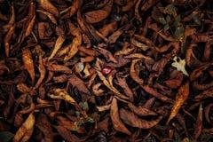 Εξασθενισμένο δέντρο κάστανων φυλλώματος στοκ εικόνα