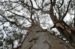Εξετάστε επάνω το δέντρο Στοκ Εικόνες