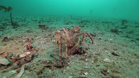Εξευγενίστε τον εναγκαλισμό και την αγάπη δύο καβουριών στο εγκαταλειμμένο αμμώδες κατώτατο σημείο της Θάλασσας του Μπάρεντς φιλμ μικρού μήκους
