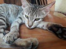 Εξημερωμένη γάτα Στοκ εικόνες με δικαίωμα ελεύθερης χρήσης