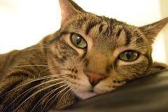 Εξημερωμένη τιγρέ γάτα με το παλτό των διακριτικών λωρίδων Στοκ Εικόνα