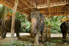 Εξημερωμένοι ελέφαντες με τη σέλα που στέκεται στο ζωολογικό κήπο στοκ εικόνες με δικαίωμα ελεύθερης χρήσης