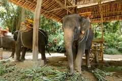Εξημερωμένοι συμπαθητικοί ελέφαντες με τη σέλα που στέκεται στο ζωολογικό κήπο στοκ φωτογραφία