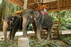 Εξημερωμένοι χαριτωμένοι ελέφαντες με τη σέλα που στέκεται στο ζωολογικό κήπο στοκ εικόνες
