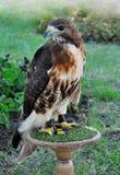 Εξημερωμένος αετός στοκ εικόνες με δικαίωμα ελεύθερης χρήσης
