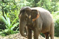 Εξημερωμένος ελέφαντας στο βαθύ δάσος ζουγκλών για τον τουρισμό στοκ εικόνες