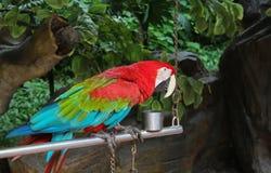 Εξημερωμένος ζωηρόχρωμος παπαγάλος στοκ εικόνα