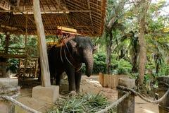 Εξημερωμένος και δεμένος ελέφαντας που στέκεται με τη σέλα στοκ φωτογραφία