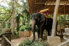 Εξημερωμένος και δεμένος μεγάλος ελέφαντας που στέκεται με τη σέλα στοκ φωτογραφία