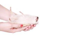 Εξημερωμένος σκαντζόχοιρος ή αφρικανικό pygmy υπό εξέταση στοκ εικόνες με δικαίωμα ελεύθερης χρήσης