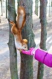 Εξημερωμένος, συνηθισμένος σκίουρος, πορτοκάλι μαλλιού Η ζωική συνεδρίαση σε έναν κορμό δέντρων και τρώει με τα χέρια ενός παιδιο στοκ εικόνες