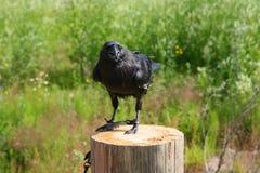 Εξημερώστε τη μαύρη συνεδρίαση κοράκων σε μια ξύλινη θέση στο υπόβαθρο αναμμένο από την πράσινες βλάστηση και τη χλόη θερινών ήλι Στοκ Εικόνες