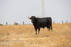 Εξοργισμός Bull στην επαρχία στοκ φωτογραφίες με δικαίωμα ελεύθερης χρήσης