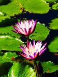 Εξωτικά λουλούδια λωτού με το υπόβαθρο φύλλων Στοκ Εικόνα