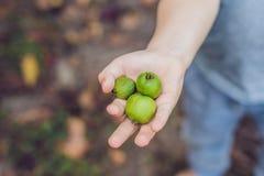 Εξωτικά τρόφιμα της Νέας Ζηλανδίας Nergi μούρων, ή μικρό ακτινίδιο Picki παιδιών Στοκ Εικόνες
