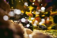 Εξωτικά ψάρια ενυδρείων cichlid κοπάδι των κίτρινων πορτοκαλιών ψαριών θάλασσας που κολυμπούν στο ενυδρείο Στοκ φωτογραφία με δικαίωμα ελεύθερης χρήσης