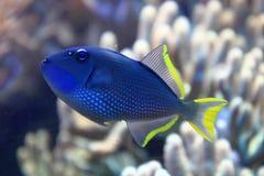 Εξωτικά ψάρια κοραλλιών Στοκ εικόνα με δικαίωμα ελεύθερης χρήσης