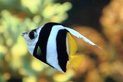 Εξωτικά ψάρια κοραλλιών Στοκ Φωτογραφία