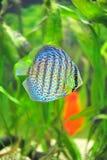 εξωτικά ψάρια discus Στοκ Εικόνες