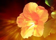 Εξωτικά hibiscus Στοκ Εικόνες