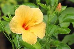 Εξωτικές κίτρινες hibiscus λουλούδι και εγκαταστάσεις Στοκ φωτογραφία με δικαίωμα ελεύθερης χρήσης