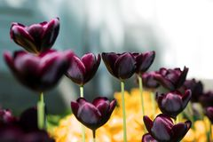 Εξωτικές σκοτεινές Burgundy τουλίπες Κρεβάτι ή κήπος λουλουδιών με τις διαφορετικές ποικιλίες των τουλιπών Στοκ Εικόνα
