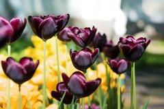 Εξωτικές σκοτεινές Burgundy τουλίπες Κρεβάτι ή κήπος λουλουδιών με τις διαφορετικές ποικιλίες των τουλιπών Στοκ Εικόνες