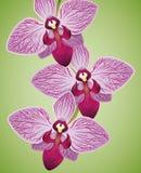 Εξωτικές όμορφες ορχιδέες πορφυρές και χρωματισμένη φούξια απομονωμένη, διανυσματική απεικόνιση Στοκ Εικόνα