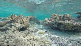 Εξωτική θαλάσσια ζωή κοντά στο νησί των Μαλδίβες φιλμ μικρού μήκους