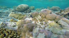 Εξωτική θαλάσσια ζωή κοντά στο νησί των Μαλδίβες απόθεμα βίντεο