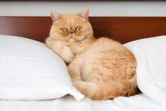 Εξωτική περσική γάτα πιπεροριζών στο κρεβάτι Στοκ Φωτογραφία