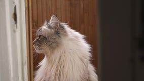 Εξωτική σιβηρική γάτα μεταμφιέσεων Neva που εξετάζει τη κάμερα και που απολαμβάνει τον ήλιο απόθεμα βίντεο
