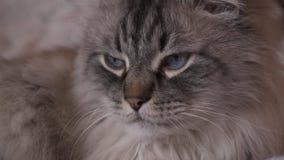 Εξωτική σιβηρική γάτα μεταμφιέσεων Neva που εξετάζει τη κάμερα με το οπτικό ζουμ στη μέση απόθεμα βίντεο