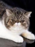Εξωτικός αιλουροειδής εσωτερικός ζώων γατών στοκ εικόνες με δικαίωμα ελεύθερης χρήσης