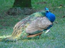 Εξωτικός ανεμιστήρας χρώματος πουλιών peacock στοκ εικόνες με δικαίωμα ελεύθερης χρήσης