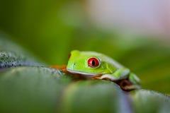 Εξωτικός βάτραχος, ζωηρό θέμα ζουγκλών στοκ φωτογραφία με δικαίωμα ελεύθερης χρήσης